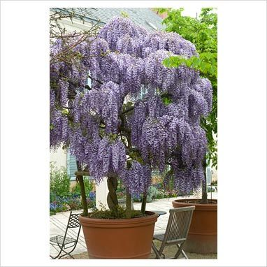 31 Best Images About Wisteria In A Pot On Pinterest