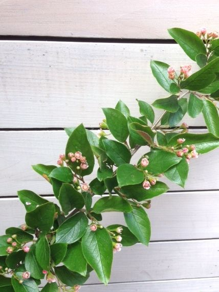 Cotoneaster with tiny blush blooms