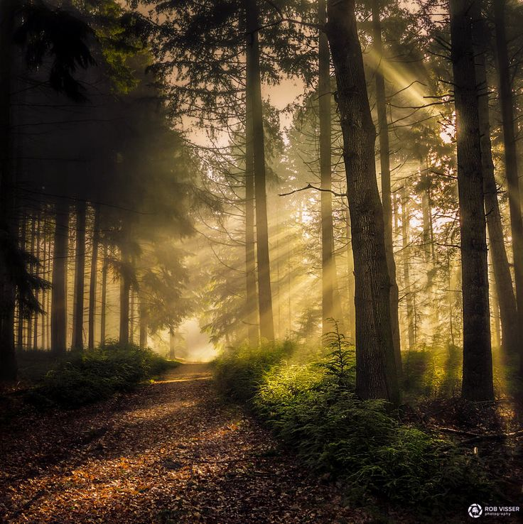 Sun Lights Up The Path In The Misty Forest Netherlands