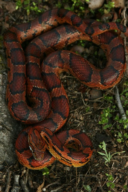 Corn Snake - looks almost like my Rosie, tho her stripes have a zig-zag pattern making her an Okeete Corn Snake
