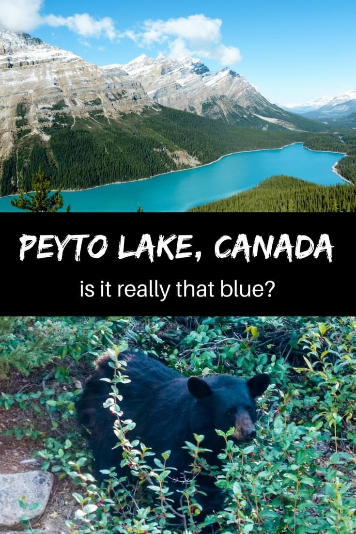 The most common questions that everybody asks when they see pictures of Peyto Lake is: Is the colour photoshopped? Is it real? How can I get there?   Peyto Lake Canada   Peyto Lake hike   Bow Summit   Canada Lake   Banff Attractions   Visiting Banff National Park   Things to do in Banff #banff #Canada #peytolake