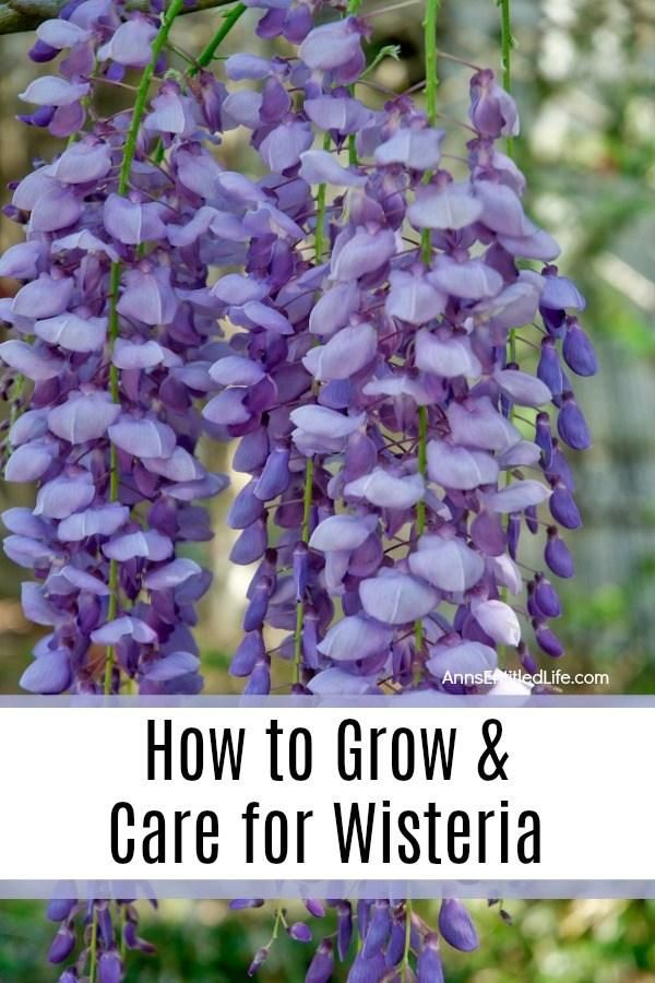 How To Grow And Care For Wisteria Wisteria Plant Beautiful Flowers Garden Wisteria How To Grow