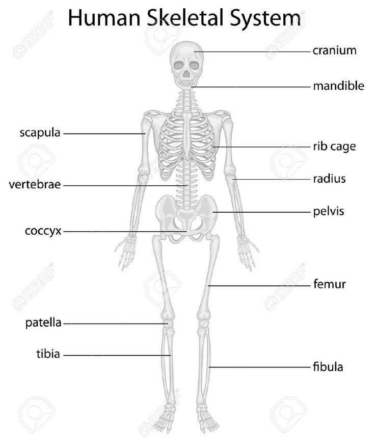 body skeleton diagram without labels skeletal system