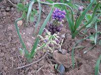 Βολβοί-Mouscari comosum Άλλες ονομασίες: Κουρκουτσέλια, κρεμμυδούλες, σκυλοκρέμμυδα, ασκορδούλακας, σκορδούλακας, βροβιός  Οικογένεια: Liliaceae