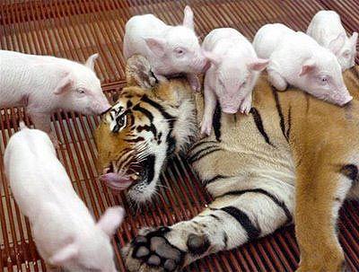 Tigresa adota porquinhos órfãos .