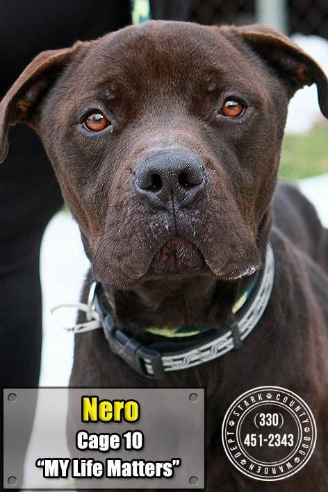 """NERO """"10 Nero"""" - URGENT - Stark County Dog Warden in Canyon, Ohio - ADOPT OR FOSTER - Young Male Lab Retriever Mix - Available December 24, 2016."""