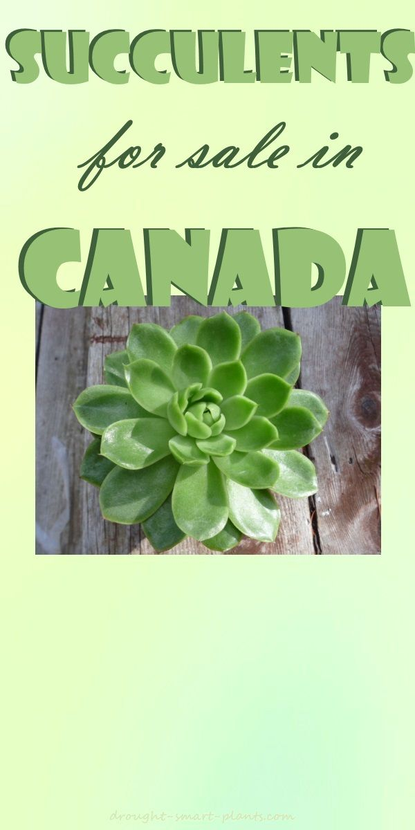 Succulents for Sale in Canada - at last, now we can buy them online...  Succulents | Gardening