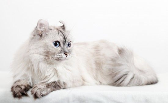 American Curl Cat Breed Information, Facts, Photos, Care | Pets4Homes