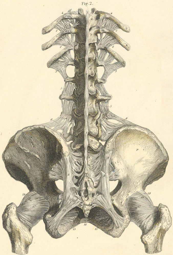 49 best Skeleton illustrations images on Pinterest   Skeletons ...