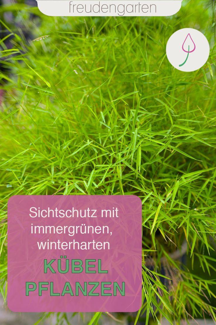 Immergrune Kubelpflanzen In 2020 Mit Bildern Pflanzen