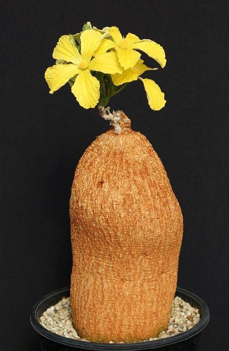 Coccinia mildbraedii