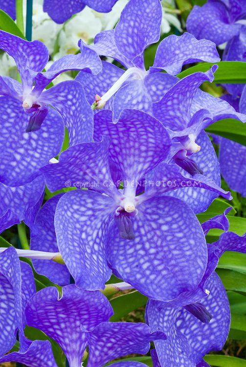 193 best vanda orchids images on pinterest vanda orchids. Black Bedroom Furniture Sets. Home Design Ideas
