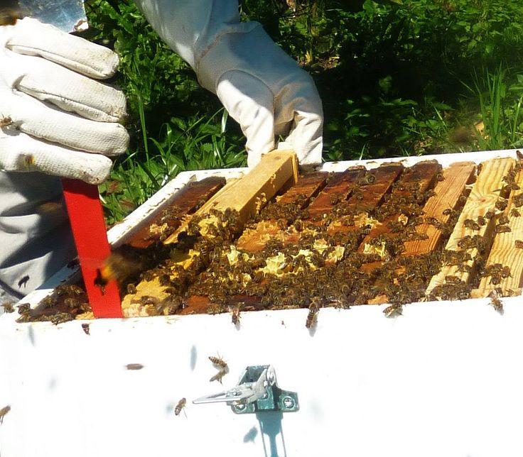 Οι μέλισσες την άνοιξη στην πεδιάδα της Άρτας, δουλεύουν στο πορτοκάλι.
