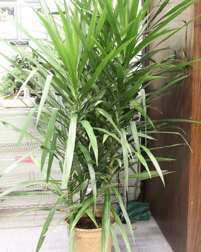 Dracaena Tarzan Plant-The Dracaena Tarzan is a type of Dracaena Marginata. Likes bright, indirect light, but can also take lower levels of light. Beautiful floor plant. #CentralSquareFlorist #IndoorPlants #GreenThumb