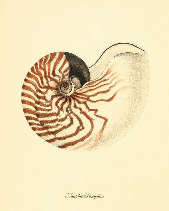 Seashell Vintage prints old prints - Natural History Ocean Decor antique prints shell print 8x10 art print