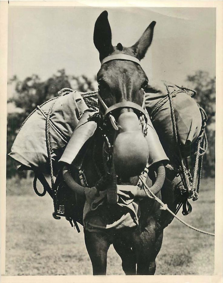 1943- U.S. Army mule wearing an M-4 type gas mask developed by the Chemical Warfare Service for horses and mules in combat areas.