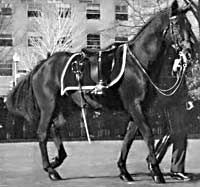 Black Jack at JFK's funeral procession. Years later, Black Jack would be buried at Arlington National Cemetary. Black Jack was part Morgan.
