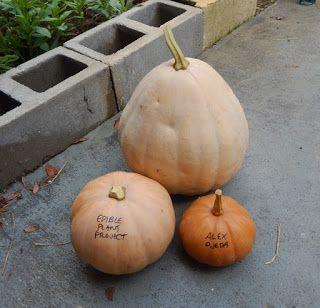 Florida Survival Gardening: The Seminole Pumpkin Project