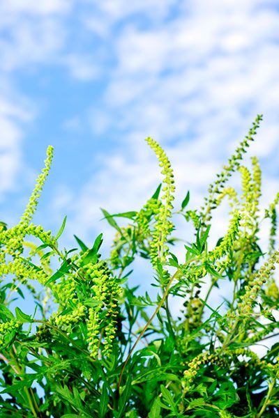 This article about the 10 worst plants for allergies would be okay, except this is not ragweed. It's goldenrod, whose pollen grains are too heavy to be windborne and thus don't usually cause allergies.