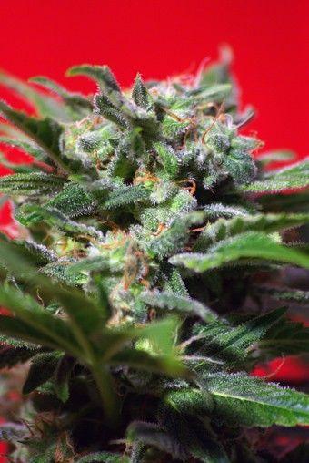Ganesh Spirit Feminised Seeds #smokeweed