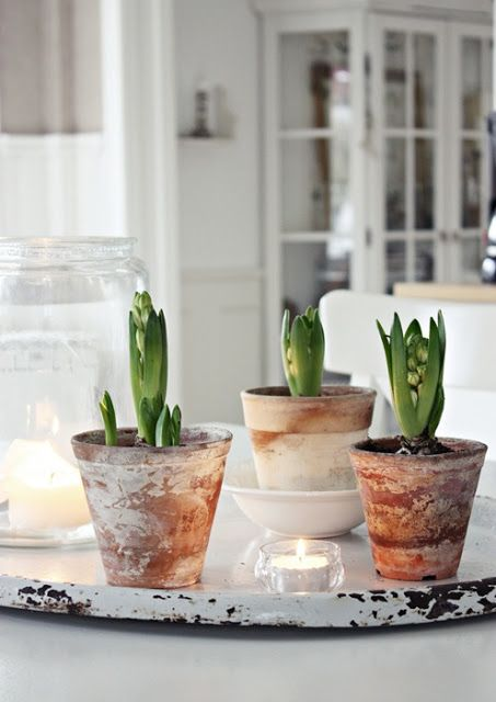 hyacinths in vintage pots