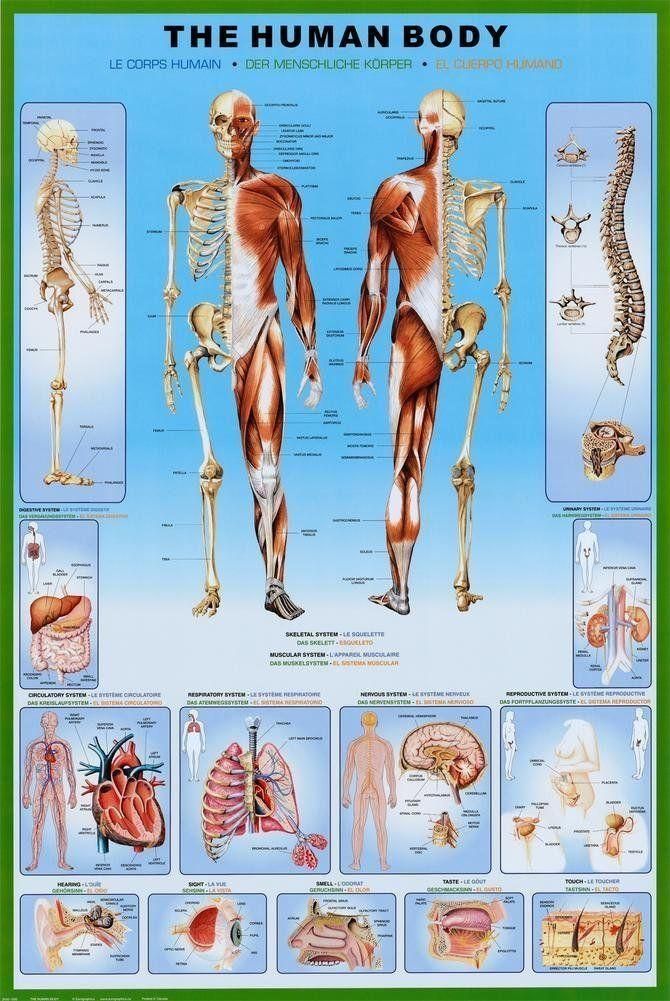 The Human Body Anatomy Chart Skeleton Muscles Poster Print Wall Art Large Maxi