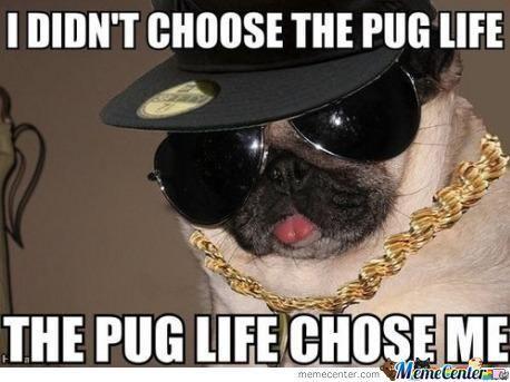 funny pug meme | Pug Memes - 63 results