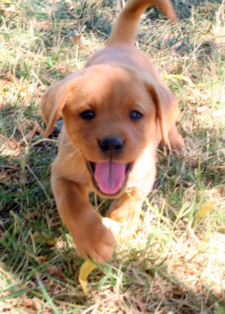 I will convince my husband that we need another fox red lab doggie :)