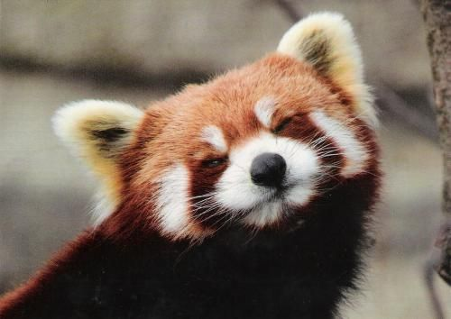 A cheerful Red Panda   My next pet needs to be a red panda!!!