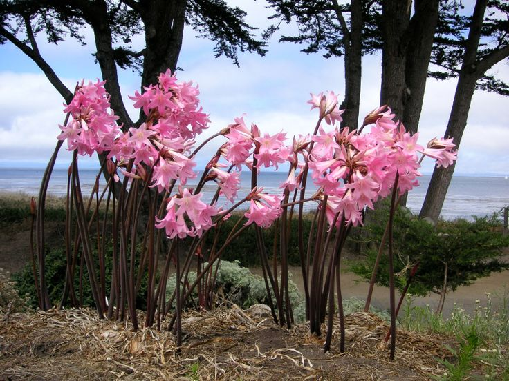 winter flowers in pacific northwest | flowers for flower lovers.: Naked lady (Amaryllis) Flowers.