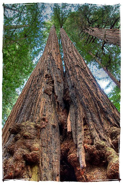 Sequoia sempervirens--Coastal Redwoods, Muir Woods, California