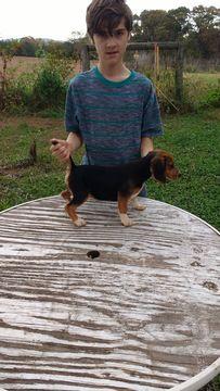 Beagle puppy for sale in BEDFORD, VA. ADN-50168 on PuppyFinder.com Gender: Female. Age: 13 Weeks Old