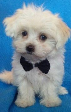 Litter of 3 Maltese puppies for sale in LEAMINGTON, UT. ADN-38224 on PuppyFinder.com Gender: Male(s) and Female(s). Age: 8 Weeks Old