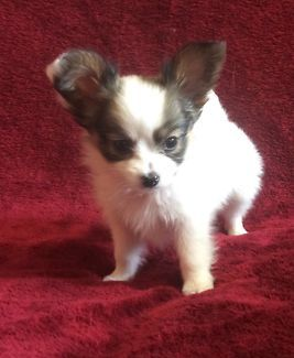 Papillon Puppies For Sale | Dogs & Puppies | Gumtree Australia Tenterfield Area - Tenterfield | 1154583336