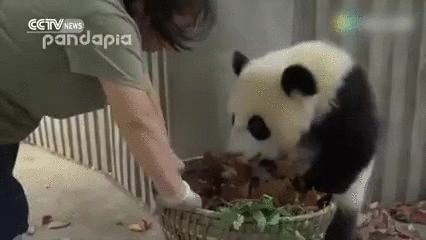 New trending GIF on Giphy. panda bye basket. Follow Me CooliPhone6Case on Twitter Facebook Google Instagram LinkedIn Blogger Tumblr Youtube