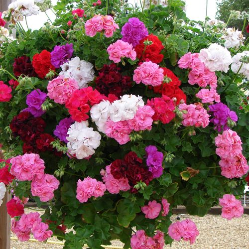 Best 25 geraniums ideas on pinterest caring for geraniums geranium care and epsom salt - How to care for ivy geranium ...