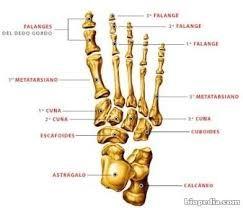 Huesos del pie.