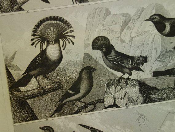 old bird print original 1849 antique small by DecorativePrints