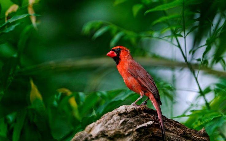 cardenal de hombre en una rama de árbol wallpaper
