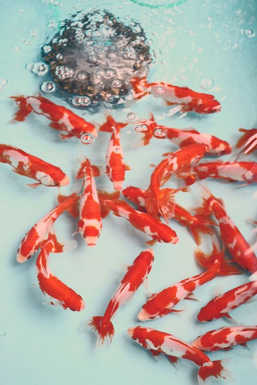 8 best koi and other interesting fish images on pinterest for Koi fish water