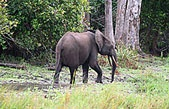 The largest land mammals in the world, elephants, naturally, have equally large home ranges. African forest elephant can range more than 772 square miles, and Asian elephants can occupy a territory of up to 40 square miles. Not surprisingly, both species are endangered. As the human footprint has grown larger, elephant habitats have shrunk. They have been converted into farmland or deforested as industrial logging and mining spreads, and as roads and settlements encroach deeper into the…