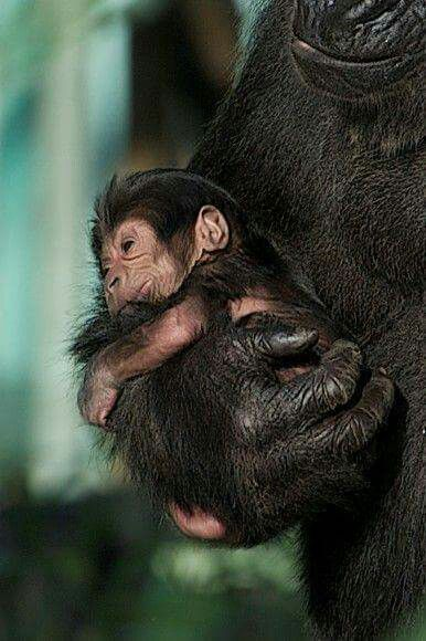 Sweet baby Gorila