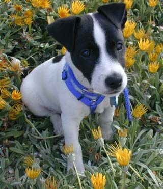 Jack Russell Terrier puppy. Looks like my little Scamp. I miss him. :'(