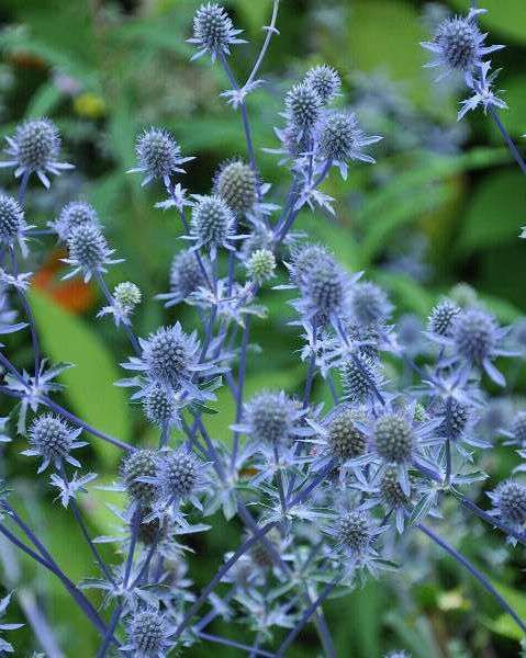Eryngium planum heet in het nederlands kruisdistel of blauwe distel en is een bladverliezende vaste plant met polvormende habitus en langwerpige, getande, donkergroene bladeren. Deze kruisdistel bloeit in juli en augustus met attractieve amethyst blauwe bloemen die ook goed als snijbloem te gebruiken zijn. Deze plant houdt van een standplaats in de volle zon en doet het goed in iedere goed doorlaatbare, niet te vruchtbare gondsoort. Eryngium planum is goed winterhard, redelijk…