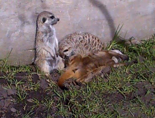 These three meerkat's sunning in the sun..... They have an awesome life at Tenikwa....