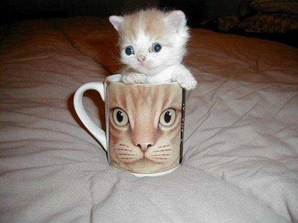 adorable.. just adorable.Kitty Cat, Coffe Cups, Funny Cat, Coffee Cups, Kitty Cups, Kittens, Cat Cups, Cat Photos, Adorable Animal