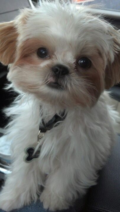 King Nocky...my adorable Shih Tzu