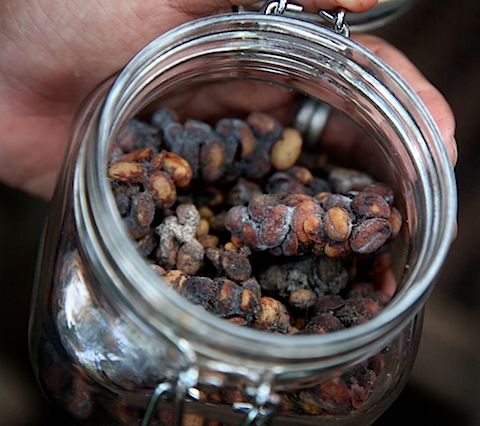 Civet dung coffee or better known as Kopi Luwak