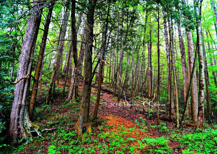 Smoky Mountain Forrest
