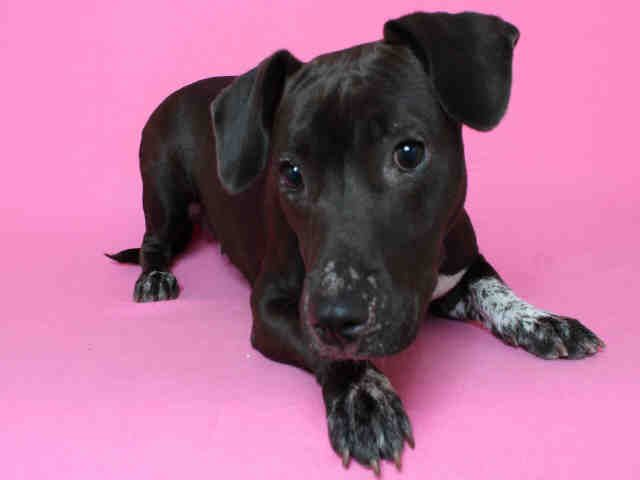 My name is Bean. My ID number is A1629265 and I am a spayed female, black Beagle and Dachshund mix. The Los Angeles Animal Services - North Central Shelter has been caring for me since 05/20/2016. - BEAN - ID#A1629265  My name is Bean and I am a spayed female, black Beagle and Dachshund.  The shelter thinks I am about 1 year and 1 month old. I weigh approximately 30 pounds.  I have been at the shelter since May 20, 2016.  - 06/07/16 *****************************************************